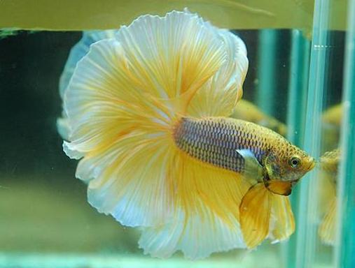 930 Gambar Ikan Cupang Beserta Namanya Terbaik